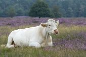white cow in landscape with purple heather poster