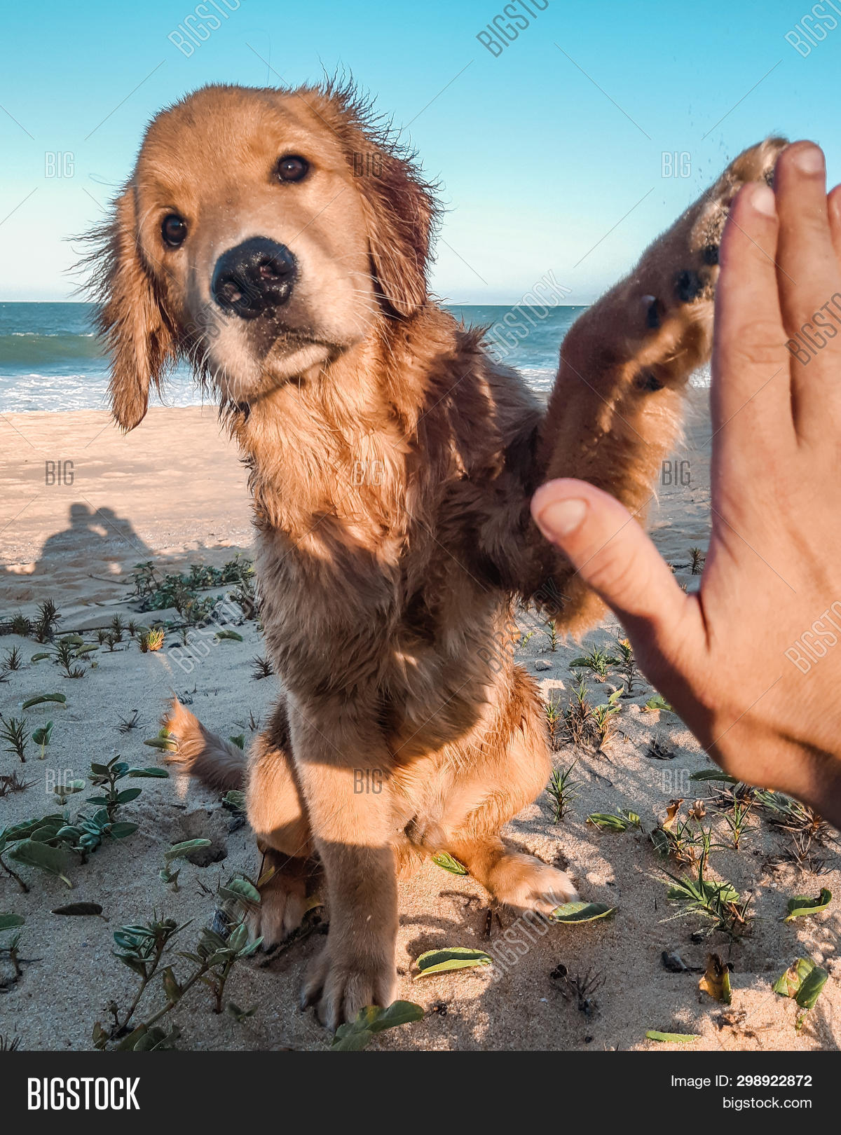 Golden Retriever Puppy Image Photo Free Trial Bigstock