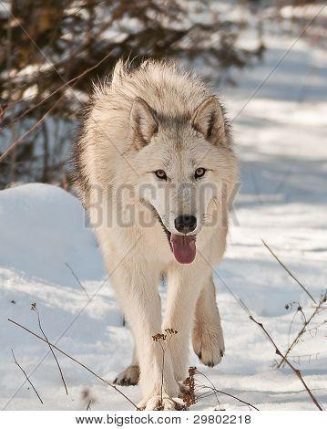 Large Wolf Walking
