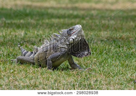 Green Iguana Displaying Its Dewlap Under Its Neck