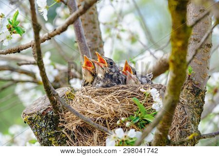 Nestling Birds Sitting In Their Nest On Blooming Tree And Waiting For Feeding. Young Birds With Oran