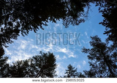 Bottom View Of Clear Sky Through Crones Of Conifer Trees. Background Of Silhouette Of Dark Atmospher