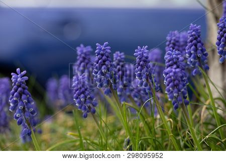 Flora Flowers Purple Grape Hyacinth Yard Front Back Garden