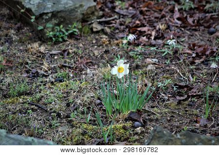 A Lone Daffodil Blooms In The Early Spring.