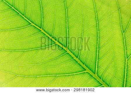 Green Leaf Texture Or Leaf Background. Close Up Green Leaf. Nature Of Green Leaves. Tree Leaves Natu