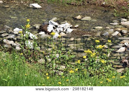 Goldenrod Blooms On The Banks Of This Rocky Creek Running Through A Field In Rural Kentucky.
