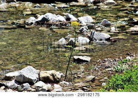 Goldenrod Blooms On The Banks Of A Rocky, Clear Stream Flowing Through A Park In Kentucky.