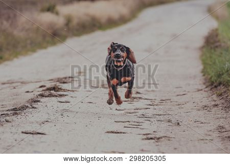Polish Hunting Dog is running on road to camera. Front view of black dog.