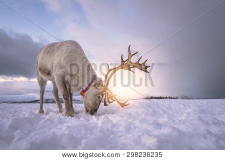 Portrait Of A Reindeer With Massive Antlers Digging In Snow In Search Of Food, Tromso Region, Northe