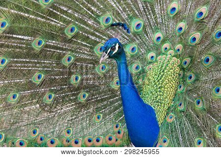 Extreme Close Up Of One Male Peacock Moving Towards Camera. Peacocks Are Famous For Their Beautiful