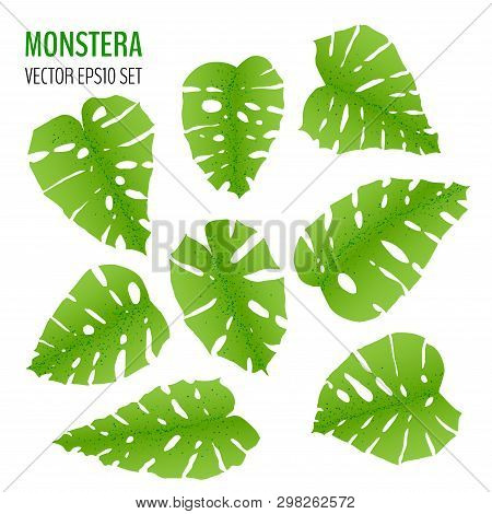Sat Of Various Monstera Leaves Isolaited On White Background. Tropical Leaves Vector Collection. Vec