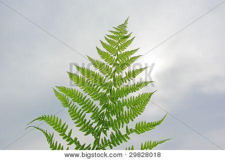 Single Fresh Green Fern Leaf
