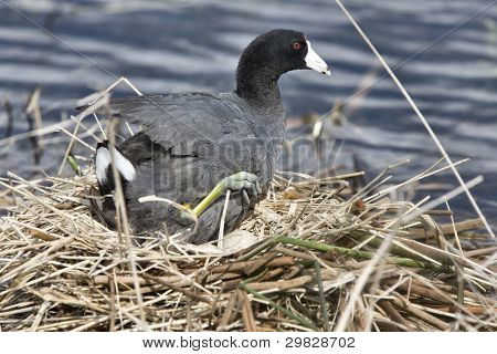 Coot Or Waterhen Sitting On Eggs