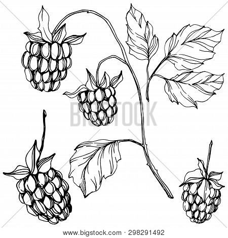 Vector Raspberry Healthy Food Isolated. Black And White Engraved Ink Art. Isolated Berries Illustrat