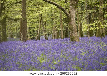 Bluebells In The Springtime Woodland, Cornwall, Uk