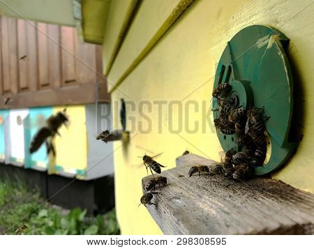 Winged Bee Slowly Flies To Beehive Collect Nectar For Honey On Private Apiary From Flower. Honey Pho
