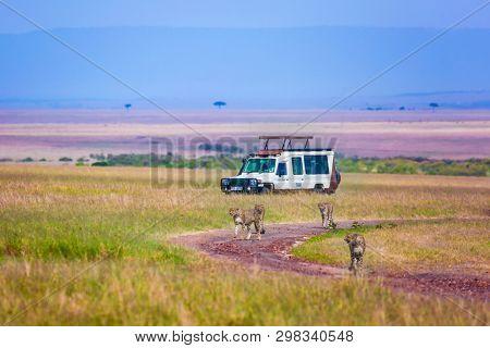 Cheetah family runs between tourist jeeps - safari. Wild animals in natural habitat. Safari - tour to the Kenya, reserve Masai Mara. The concept of exotic, ecological and phototourism