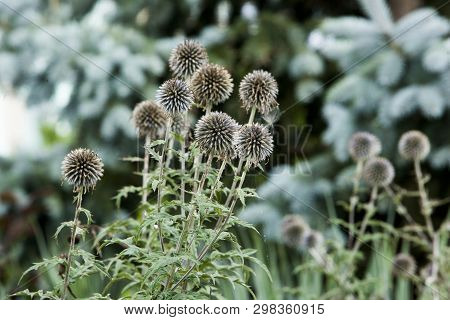 Flora Flowers Backyard Globe Thistle Balls Round Seed Head