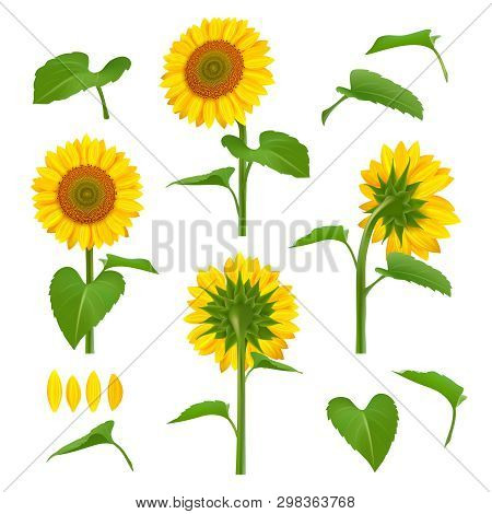 Sunflowers Illustrations. Garden Botanical Yellow Beauty Sunflowers With Seeds Vector Floral Backgro