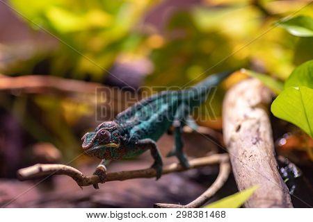Little Cute Chameleon On A Tree Branch.