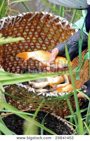 Fish in a basket caught by hand