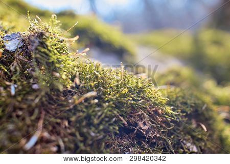 Forest Moss On The Tree. Moss Close Up. Macro Photo Of Moss. Trees Overgrown With Greenery. Photo Of