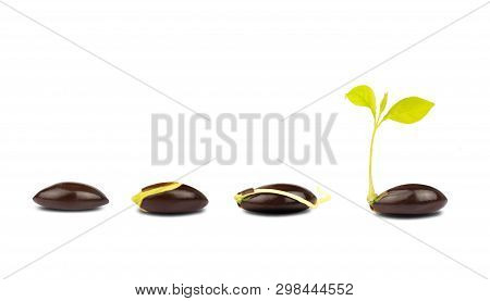 Seed Germination Process Isolate On White Background.of Planting Tree. Seedling Gardening Plant. See