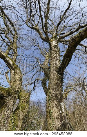 European Ash - Fraxinus Excelsior  Tree In Late Winter