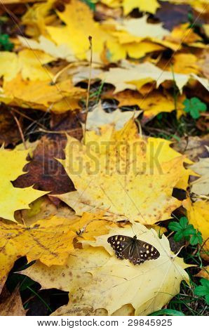 Butterfly On Yellow Leaves