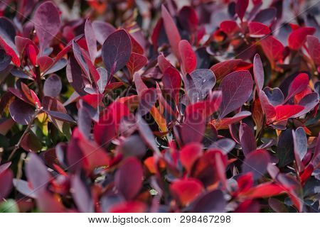 Beautiful Natural Background Of Photinia In A Park At Dawn.