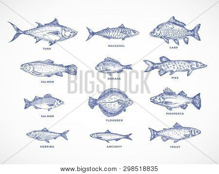 Hand Drawn Ocean, Sea, River And Lake Fishes Set. A Collection Of Salmon And Tuna Or Pike And Anchov
