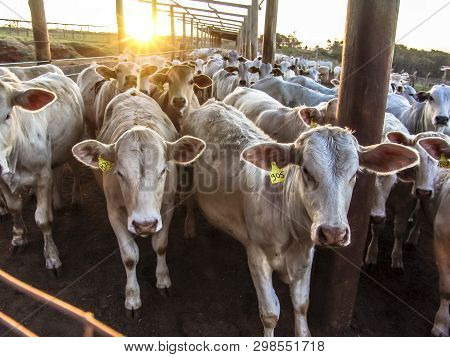 Sunrise Of Cattle On Confinement In Brazil