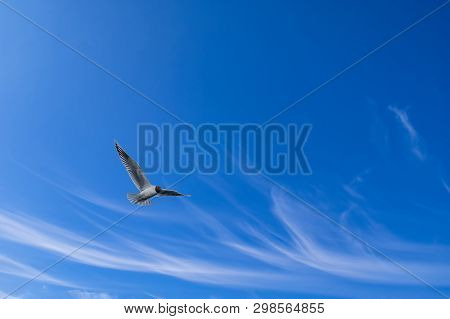 Seagull Flying In The Blue Sky With White Feathery Clouds. Cirrus Clouds.