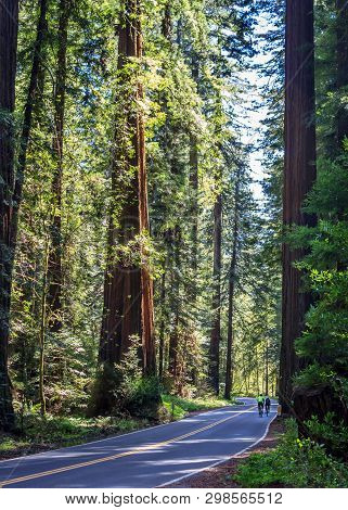 Bicyclists riding the Avenue of the Giants in Northern California, USA poster