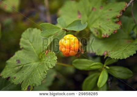 Cloudberries. Royal berry.