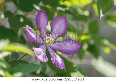 Purple Beautiful Flower Clematis Jackmanii (atragene Clematis) In Garden. Beautiful Spring Holiday G