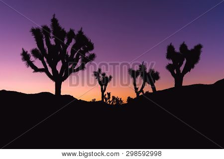 Silhouette Of Joshua Trees At Sunrise In Joshua Tree National Park In Southern California, Usa