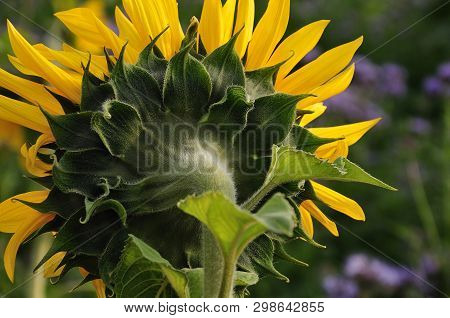 Flower Head Of Sunflower Helianthus, Backside With Hairy Sepals