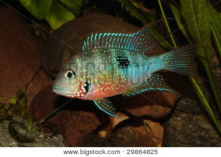 Mexican Fire Mouth (Thorichthys ellioti) - Male poster