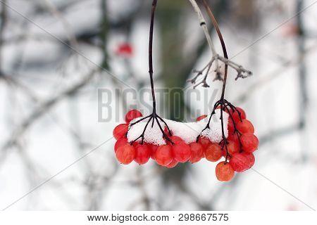 Winter Frozen Viburnum Under Snow. First Snow. Beautiful Winter.
