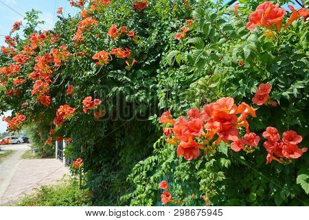 Trumpet Vine Flowers On Fence. Campsis Radicans (trumpet Vine Or Trumpet Creeper, Also Known In Nort