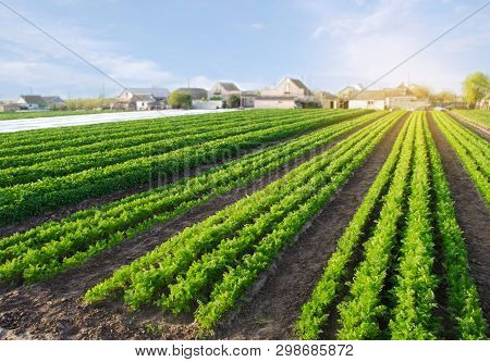 Carrot Plantations Grow In The Field. Vegetable Rows. Agricultural Grounds. Agriculture. Farming. Gr