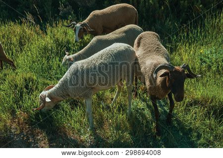 Flock Of Goats Grazing On Green Sward With Bushes
