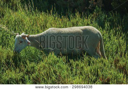 Goat Grazing On Green Sward With Bushes In A Rocky Landscape, At The Highlands Of Serra Da Estrela.