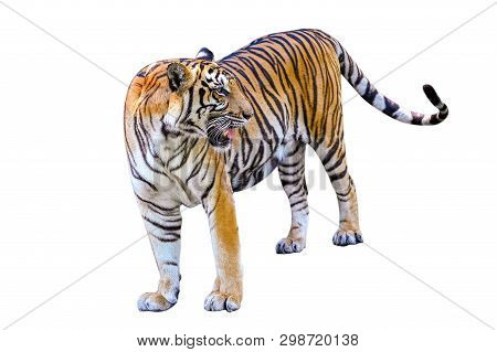 Tiger White Background Isolate Full Body Tiger