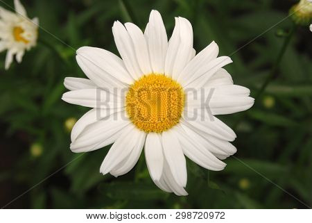 Flowering Of Daisies. Oxeye Daisy, Leucanthemum Vulgare, Daisies,  Common Daisy, Dog Daisy, Moon Dai
