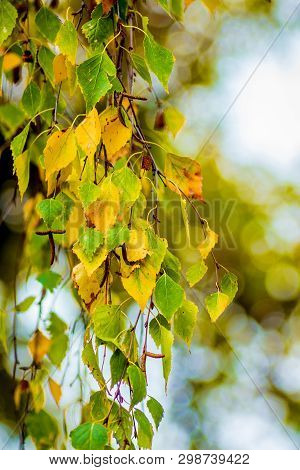 The Branch Of Birch With Leaves, Which Begins To Yellow, In The Beginning Of Autumn On A Blurred Bac