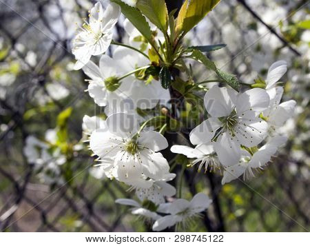 Flowering Prunus Cerasus Branch. Little Beautiful White Flowers On A Cherry Branch. Spring Private G