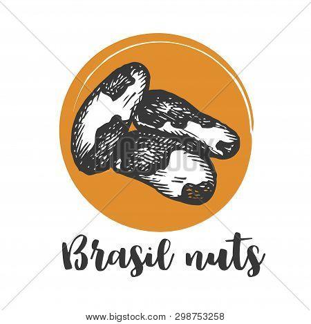 Brazilian Nut Vintage Hand Drawing Of Brazilian Nuts Vector Illustration