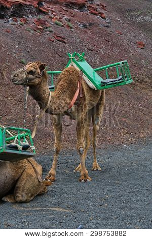 Dromedary For The Transport Of Tourists On The Timanfaya Lava Dunes In Lanzarote, Canary Islands